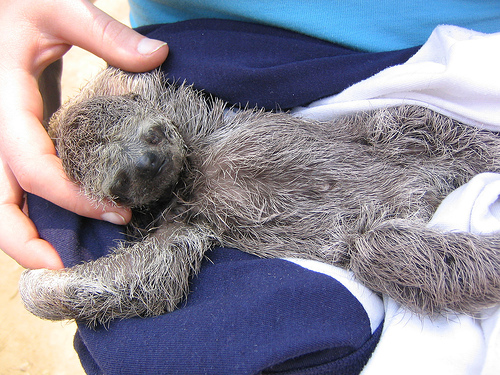 Baby sloth at Pampas/Jungle Tour