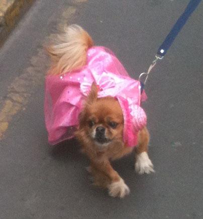 peruvian dog 2