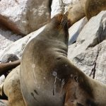 Paracas – Islas Ballestas Tour and to Paracas National Reservation
