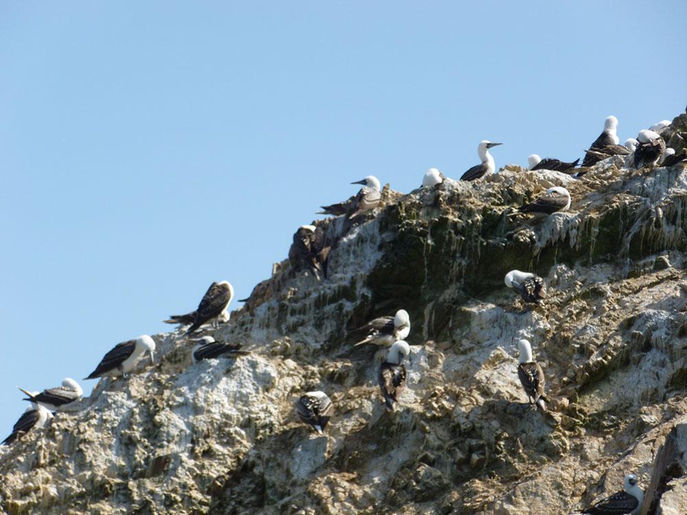 birds of paracas