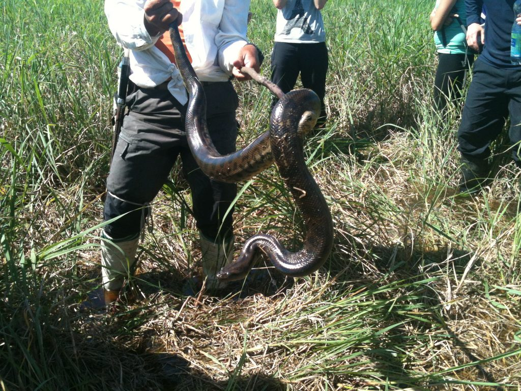 anaconda hunting