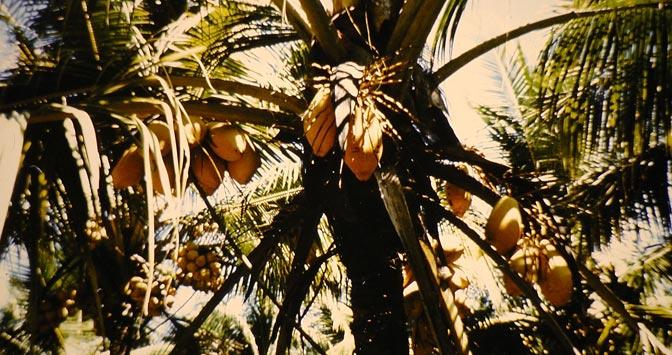 king-coconut