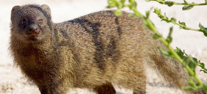 egyptian-otter