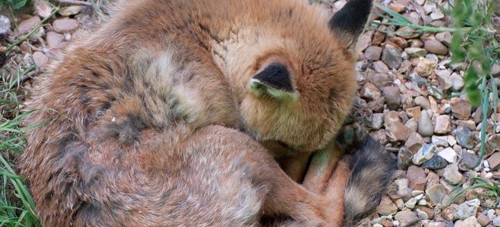 iberian-fox