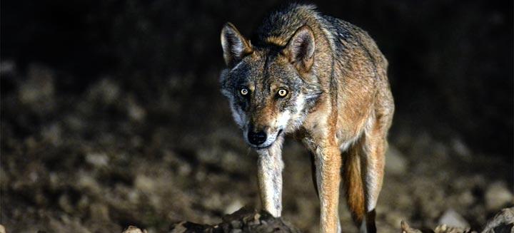 iberian-wolf