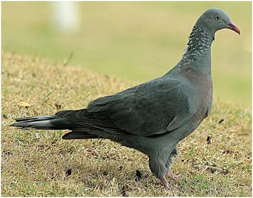 madeira-laurel-pigeon11