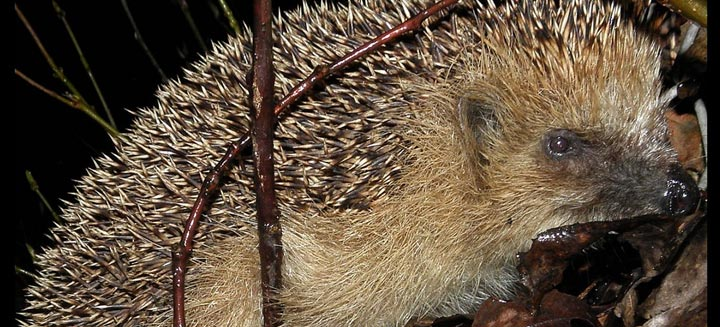 western-hedgehog