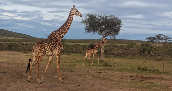 giraffes at the Maasai Mara